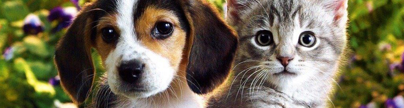 A beagle puppy and a gray kitten beside each oher